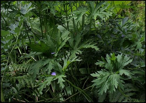 Geranium pratense (5)