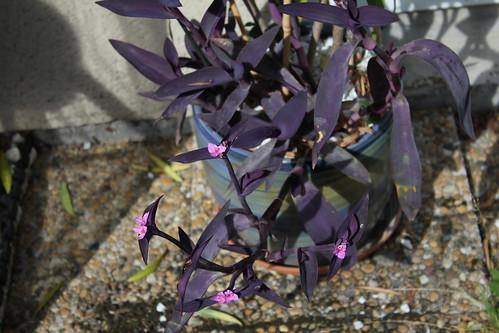 Setcreasea pallida (1)