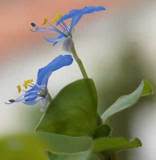 Commelina benghalensis - herbe à cochon 27554311381_7ecb3be058_n