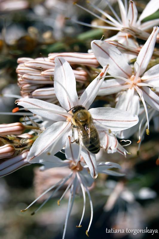 Цветы асфоделуса