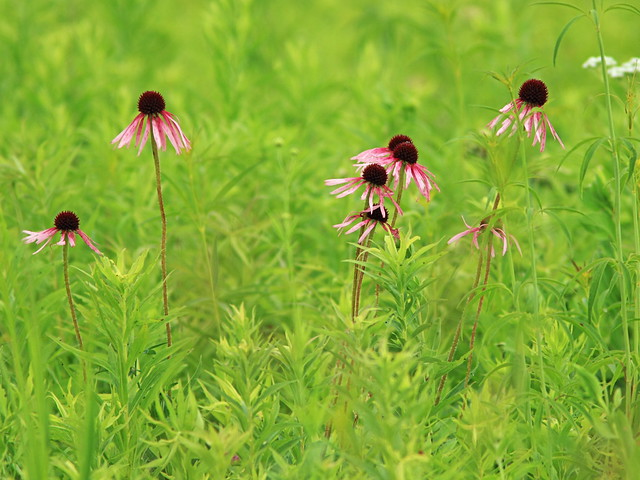 Pale Coneflowers 20160628