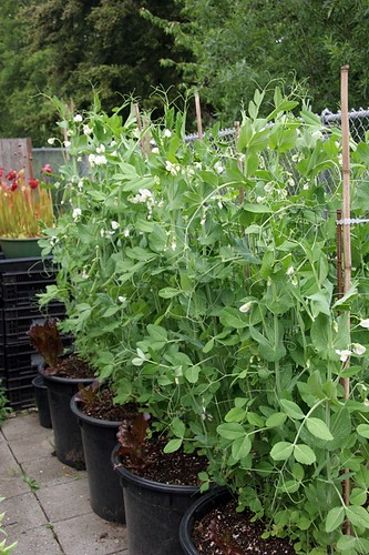 Vegetable Garden 2016 Snap Peas