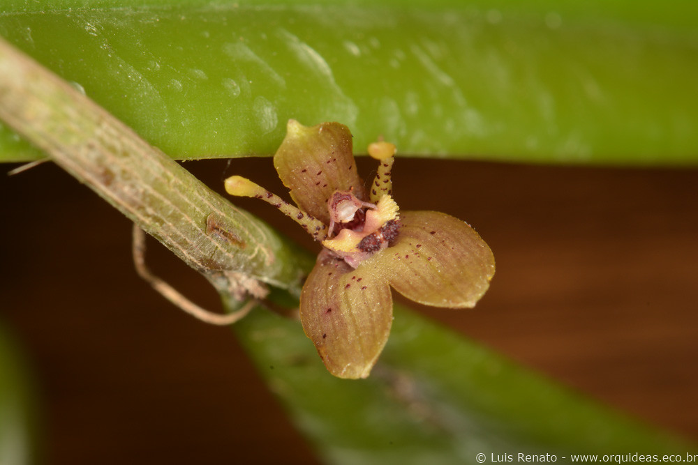 Myoxanthus punctatus
