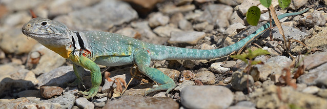 Eastern Collared Lizard #17