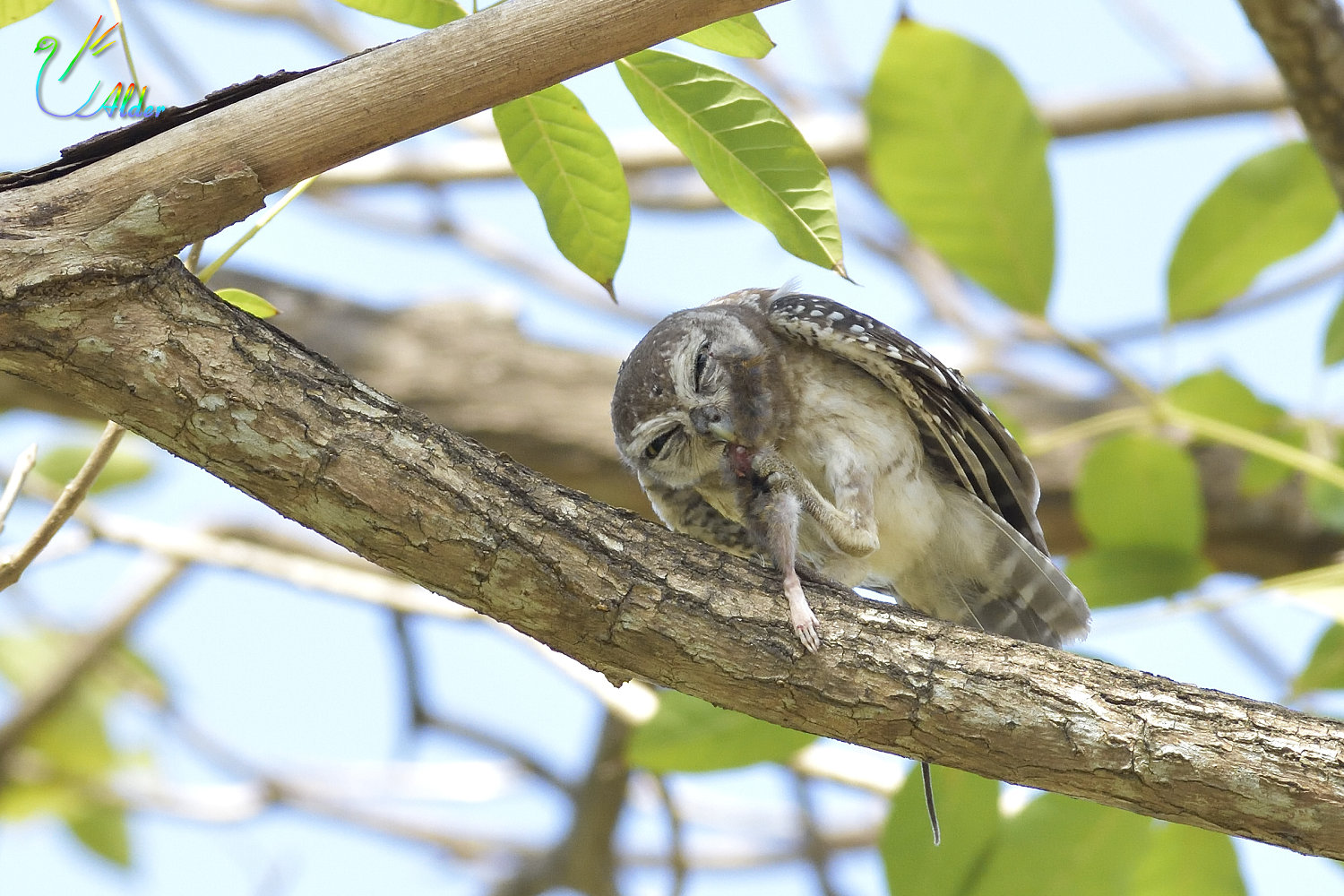 Spotted_Owlet_4617