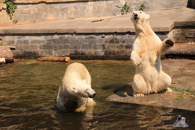 Eisbär Fiete im Zoo Rostock 04.06.2016   0175