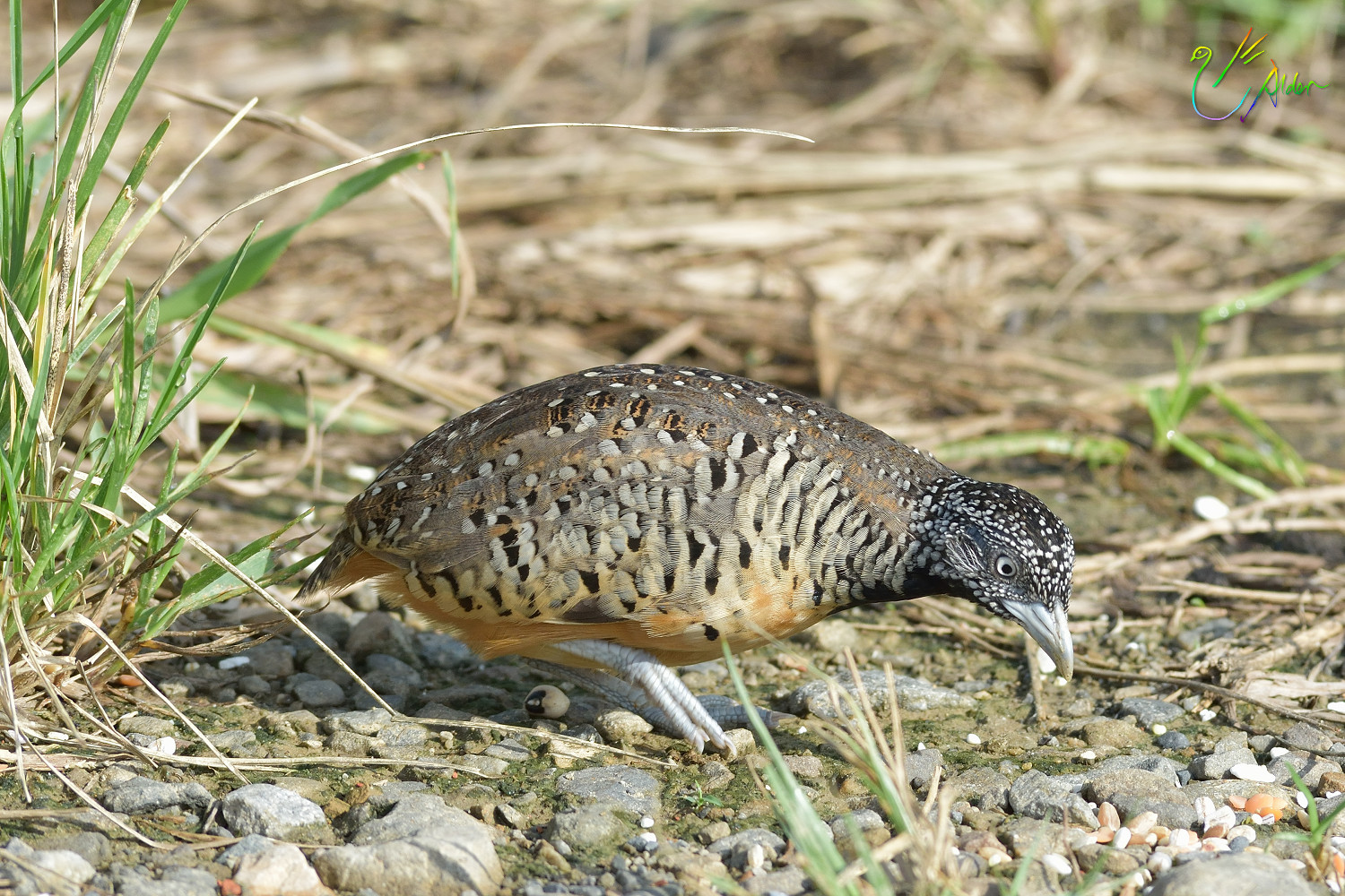 Barred_Buttonquail_1152