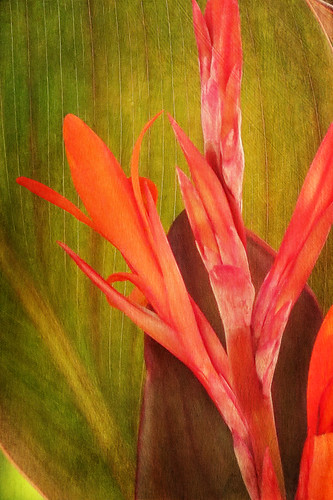 Red Canna Lily flower in the photo app Stackables