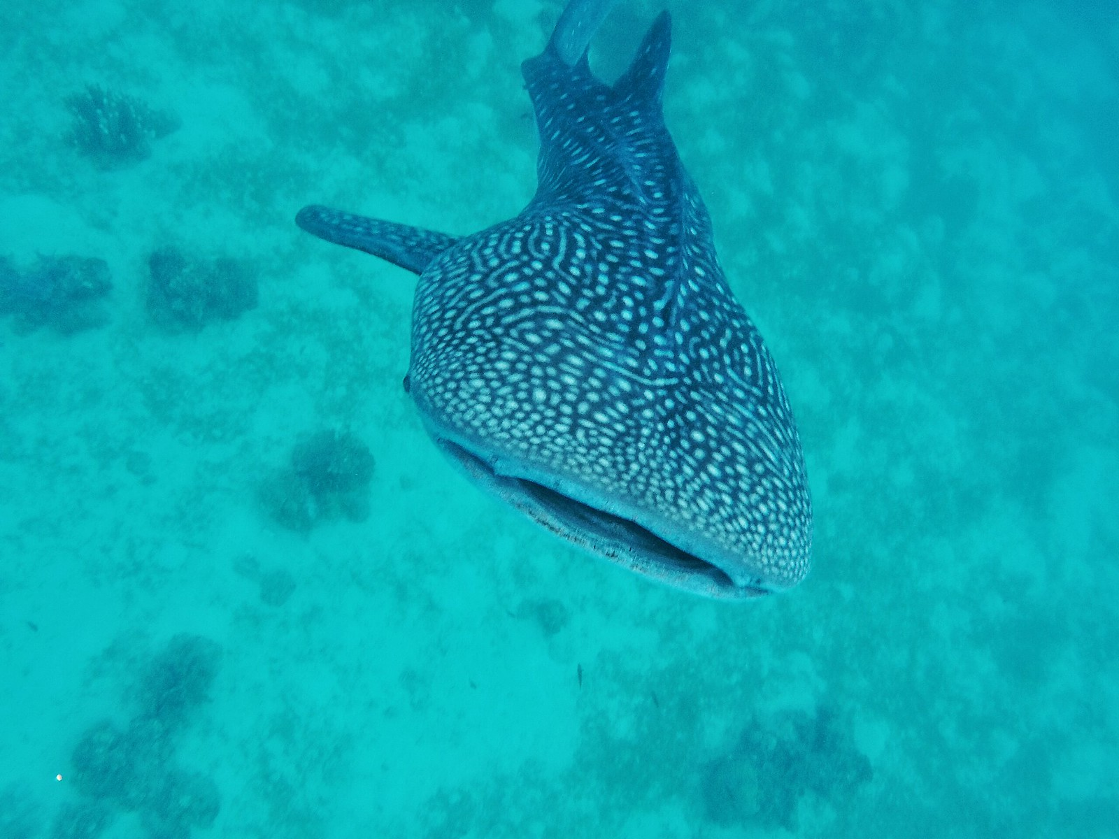 Whale shark watching, Oslob