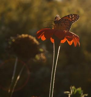 2016-9-29. Monarch on Tithonia