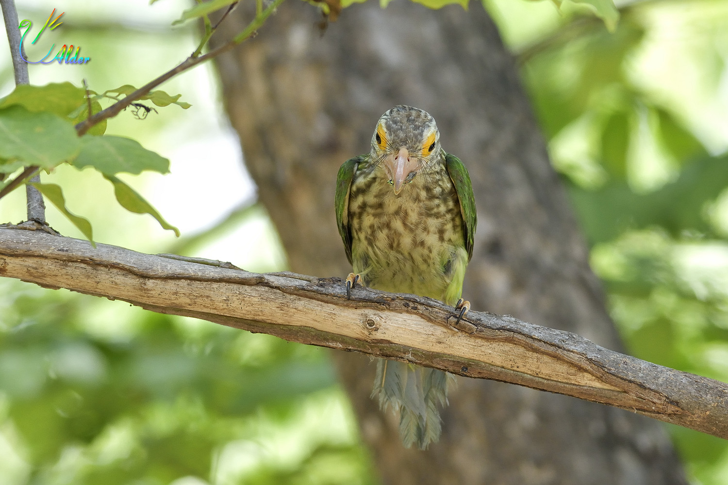 Lineated_Barbet_6819
