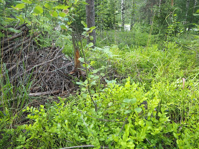 metsäsuomimarjastaaberriesP7109007,mustikatkerätäsuomimustikkasaalisP7109025, metsä, forest, suomi, finland, kerätä, poimia, pick up, pick out, marja, marjat, berry, berries, mustikka, blueberry, superfood, from our forests, natural, luonnon superfood, healthy, delicious, collecting berries, poimia marjoja, kesä, summer, holiday, luonto, nature,