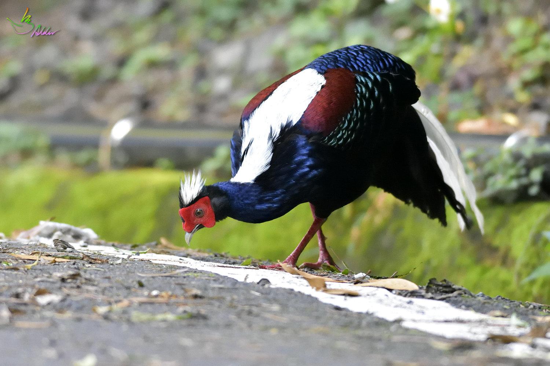 Swinhoe_Pheasant_4905