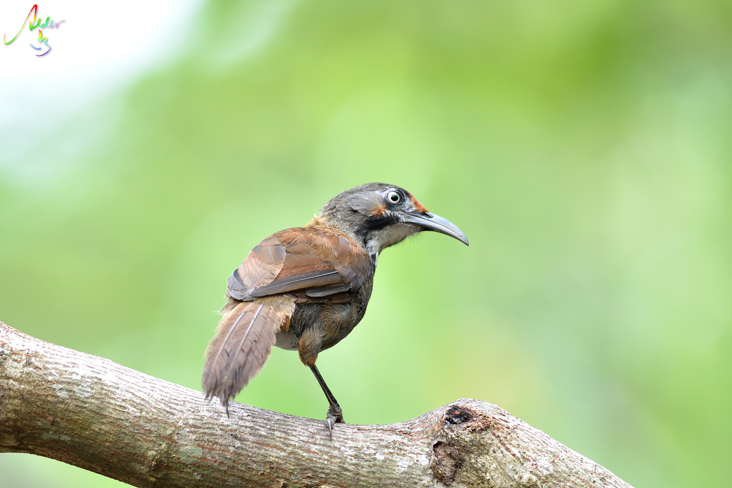 Rusty-cheeked_Scimitar_Babbler_5298