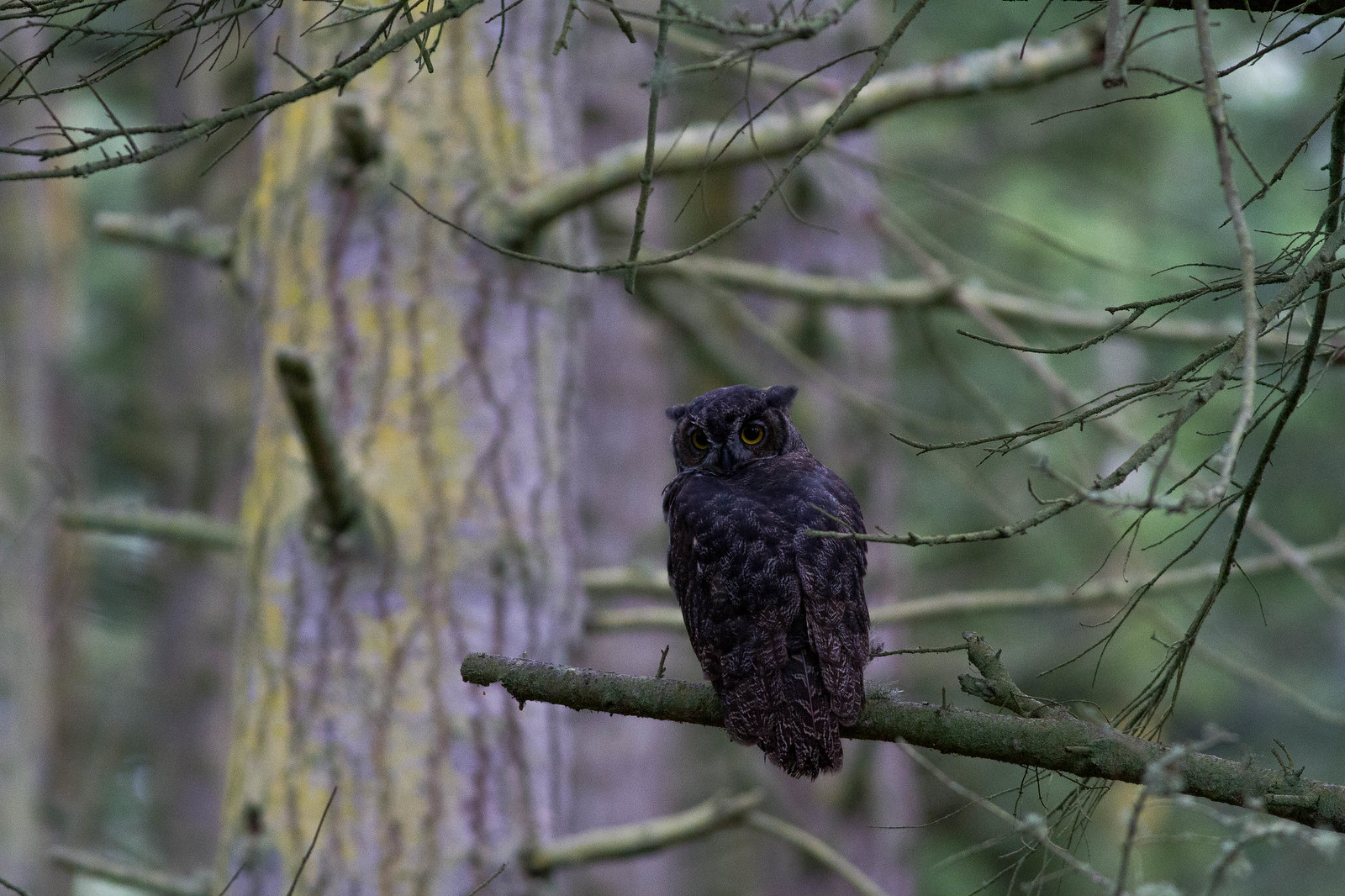 Great Horned Owl (Pacific ssp)