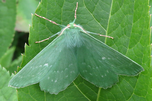 Large Emerald Geometra papilionaria Tophill Low NR, East Yorkshire July 2016