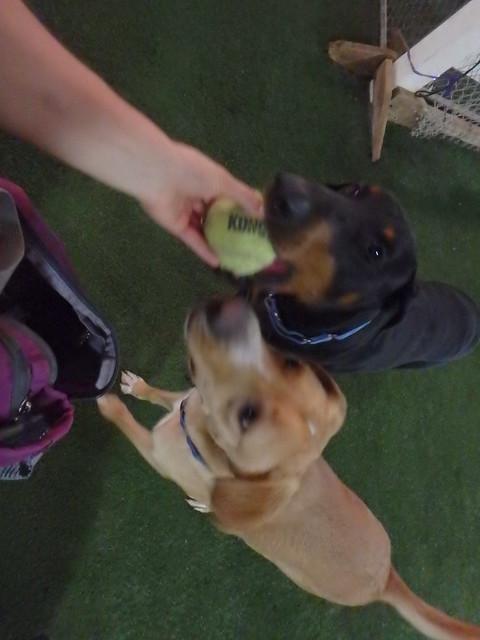 06/07/16 Tennis Ball Fetch! :D