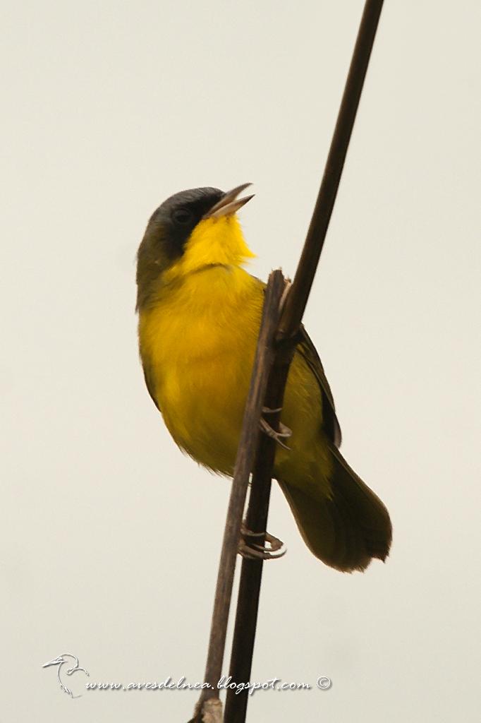 Arañero cara negra (Masked yellowthroat) Geothlypis aequinoctialis
