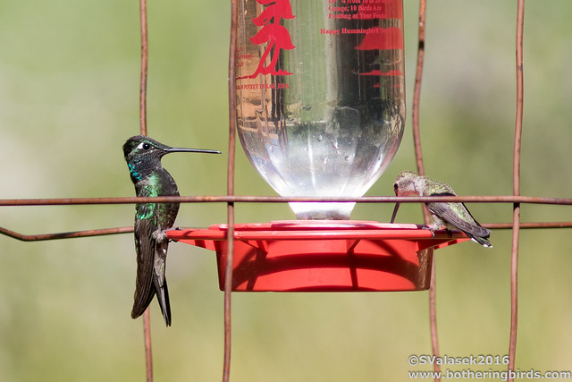Magnificent (L) and Black-Chinned Hummingbirds