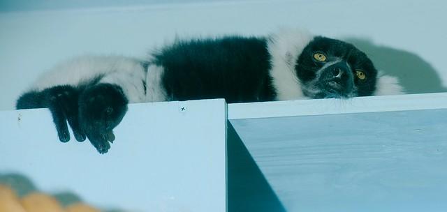 Black and White Ruffed Lemur_2