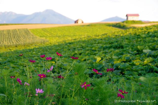 コスモス咲く丘