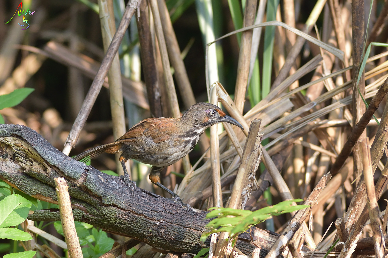 Rusty-cheeked_Scimitar_Babbler_4462