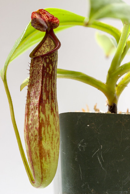 Nepenthes copelandii Apo BE
