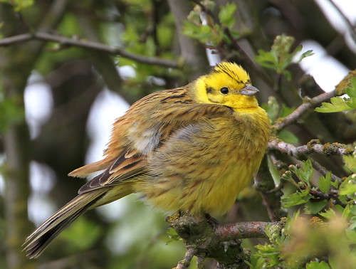 Yellowhammer | by DavidAlan48