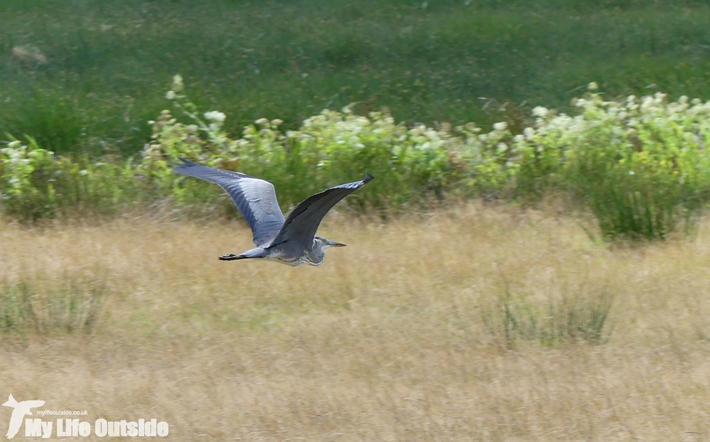 P1040372 - Grey Heron, Royal Military Canal