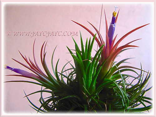 Tillandsia ionantha flowers occassionally to surprise us, 28 July 2016