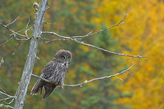 The Great Grey Owl | by lxdesign