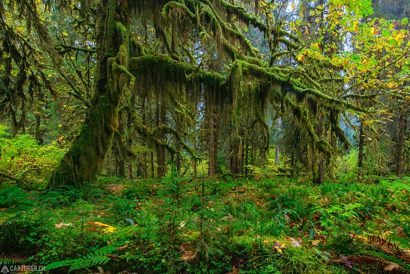 Moos tree - Olympic National Park