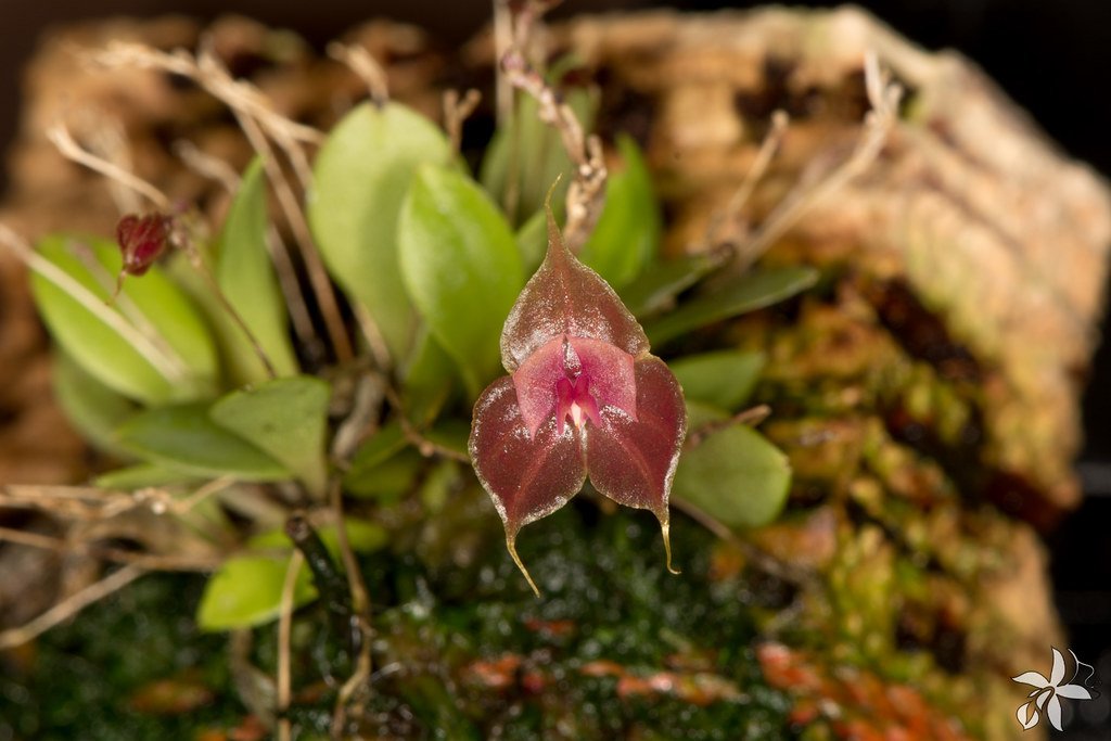 Lepanthes tsubotae
