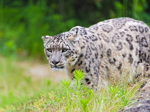 Villy in the grass | by Tambako the Jaguar