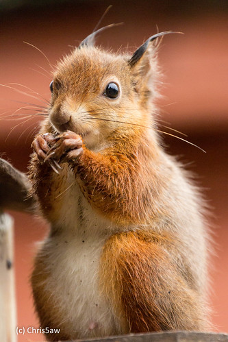 Nibbling squirrel | by chris5aw