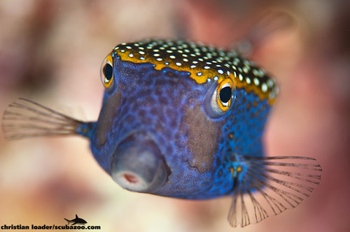 Boxfish - Phi Phi, Thailand