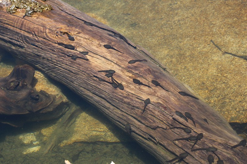 Large tadpoles sunning themselves on a big log in Matlock Lake