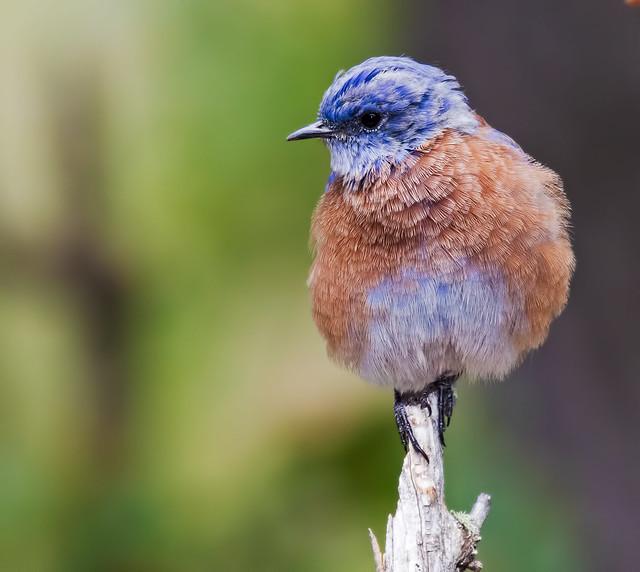 Western-Blue-bird-10-7D2-081816
