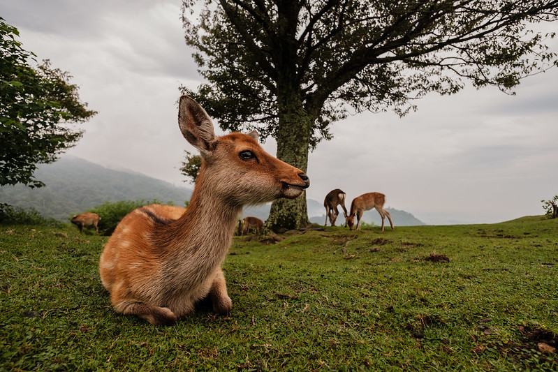 Deer of Wakakusa Mountain in Nara