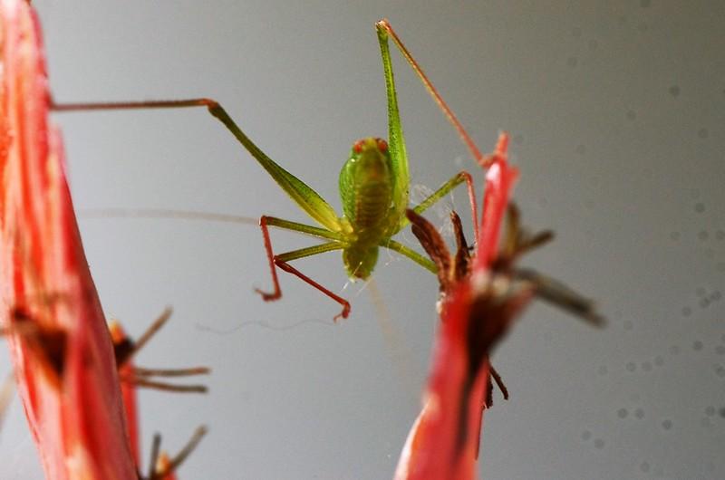 Grasshopper on Bromelia 23.08 (6)