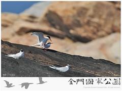 紅燕鷗繁殖(攝影/文胤臣)