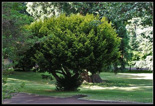 Taxus baccata aurea ?? A identifier (2)
