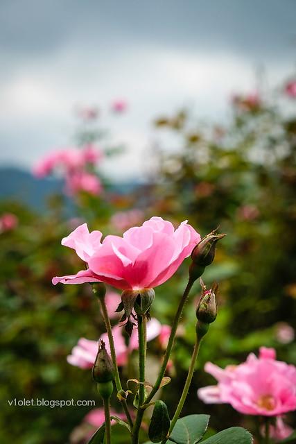 Roses14-0256rw