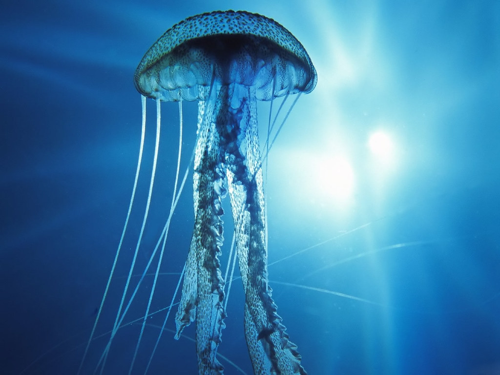 Pacific_Ocean_Jellyfish1