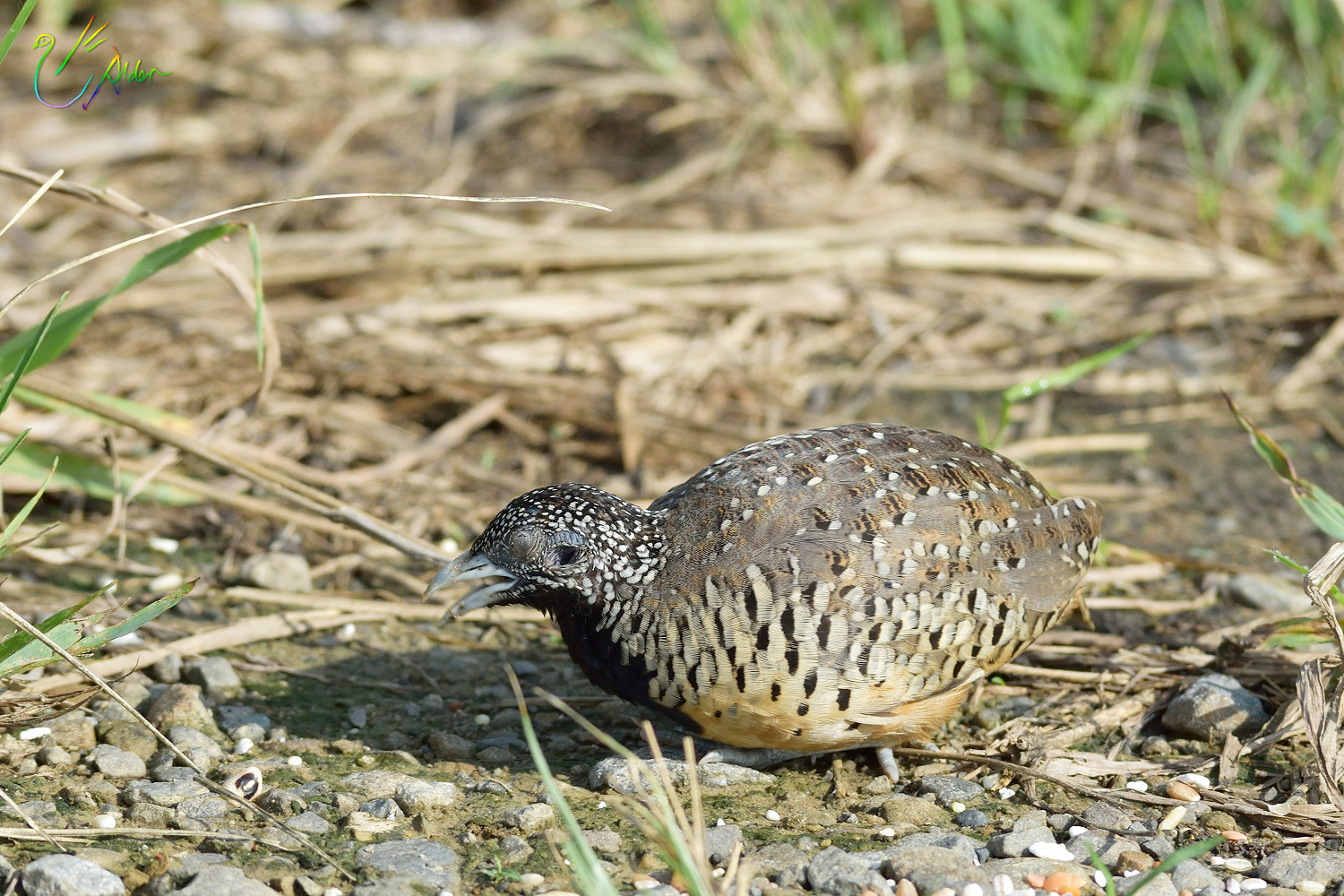 Barred_Buttonquail_1123