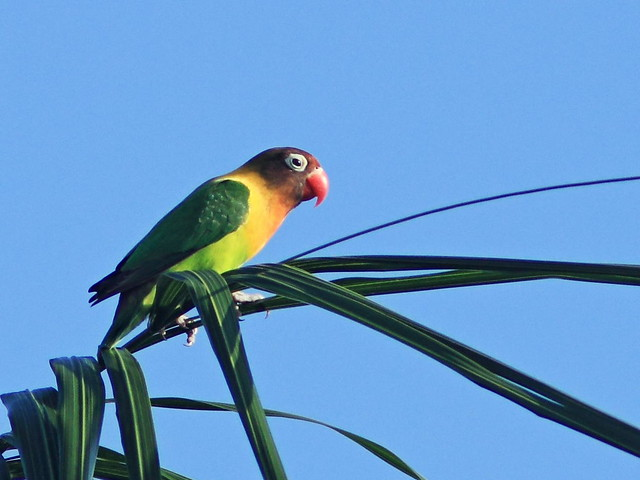 Yellow-collared Lovebird 03-20160903