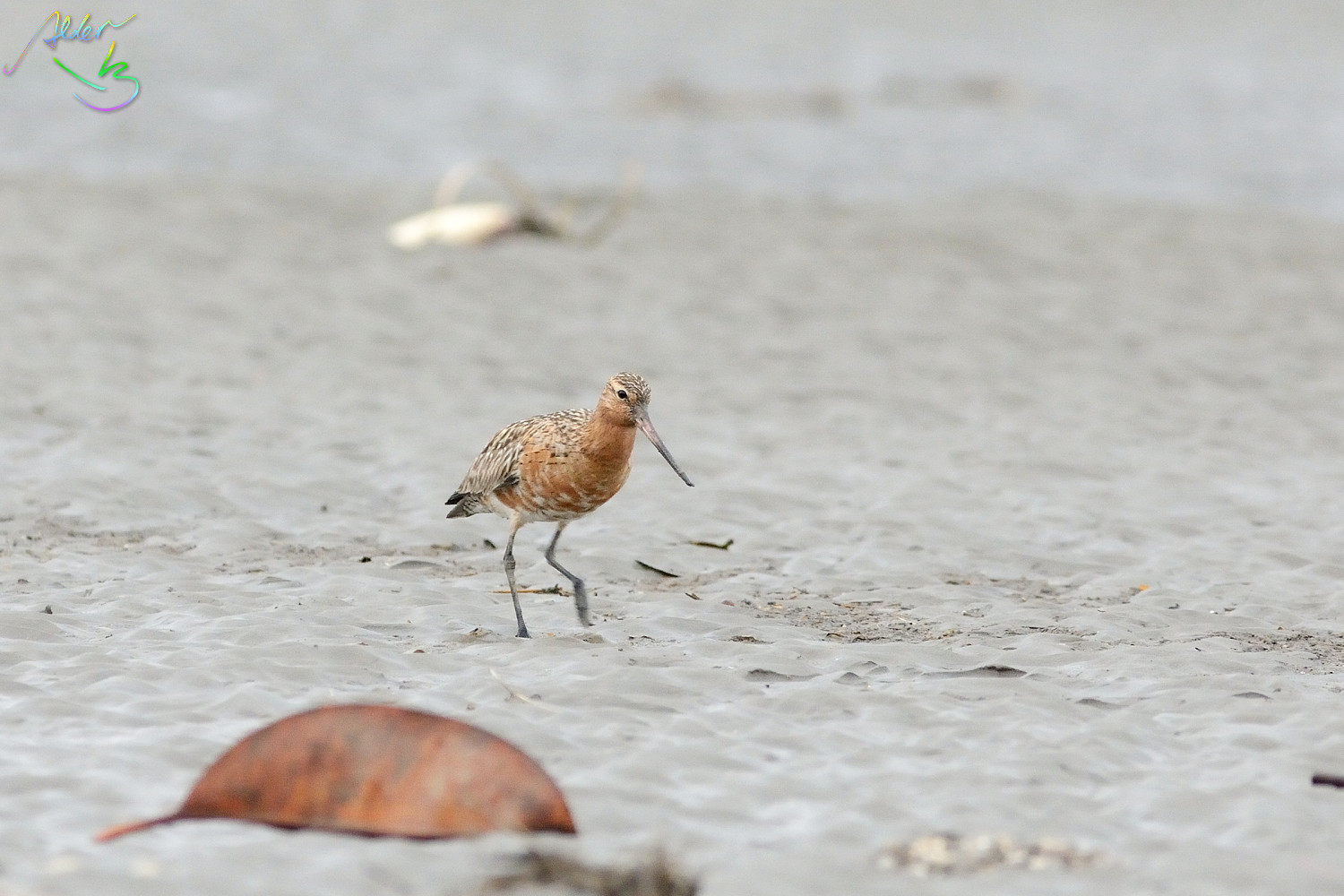 Bar-tailed_Godwit_0534