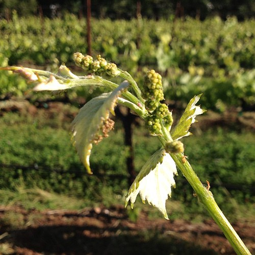 Baby grapes before bloom. #winewednesday | by jordanwinery.com