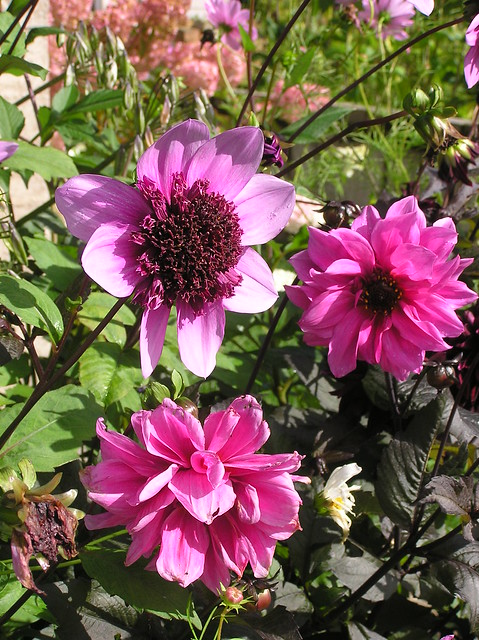 Dahlia 'Blue Bayou' & 'Fascination'