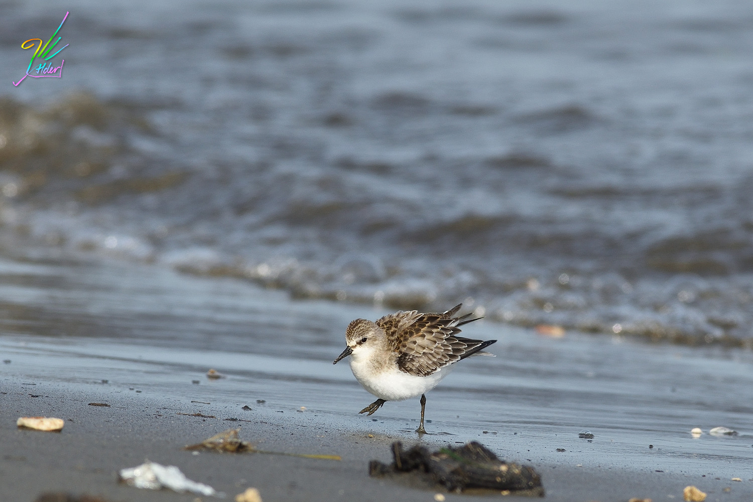Red-necked_Stint_0385
